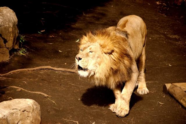 オタリアはシーライオンとも呼ばれライオンと共通点も多い