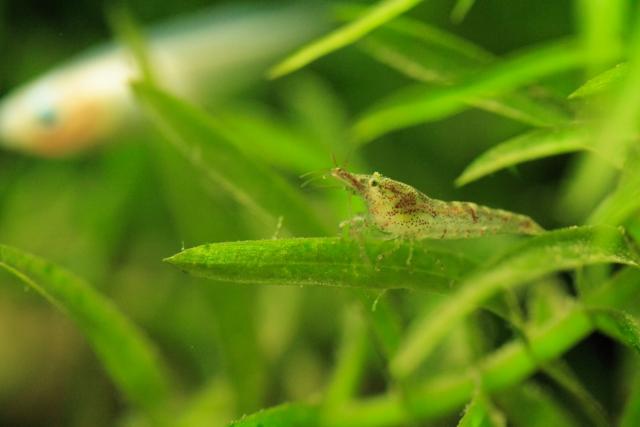 アルテミアはエビなど甲殻類の一種